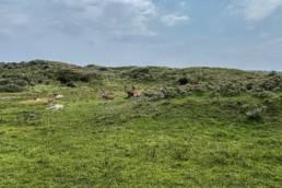 Herten en reeën op de Noordwijkse Golfclub